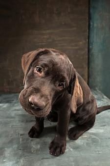 O retrato de um cão preto de labrador tomado contra um fundo escuro.