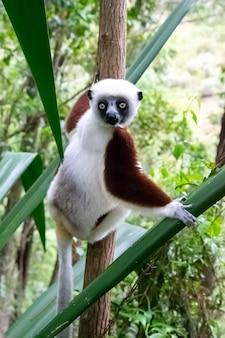 O retrato de um lêmure de sifaka na floresta tropical