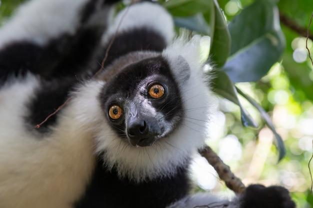 O retrato de um vari lemur preto e branco