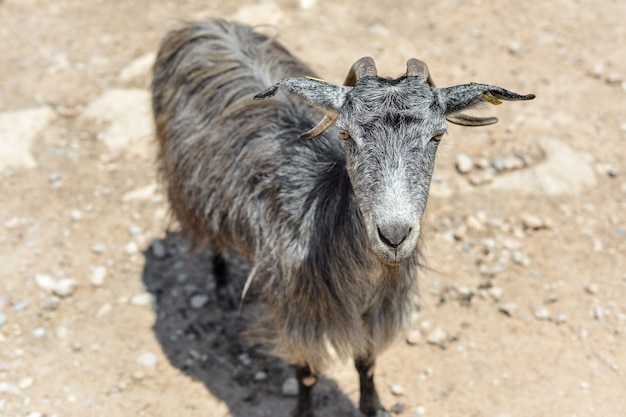 O retrato de uma cabra cinza na estrada nas montanhas em um dia ensolarado. creta, grécia