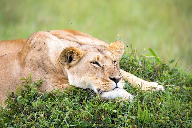 O retrato de uma leoa, ela está deitada na grama na savana
