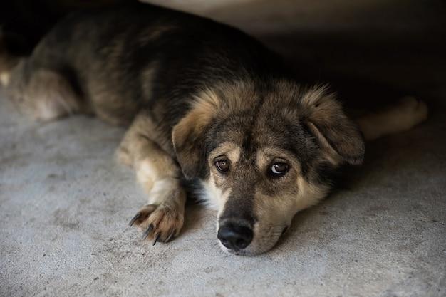 O retrato do cão do cão de puxar trenós siberian da raça adorável da mistura encontra-se para baixo no assoalho.