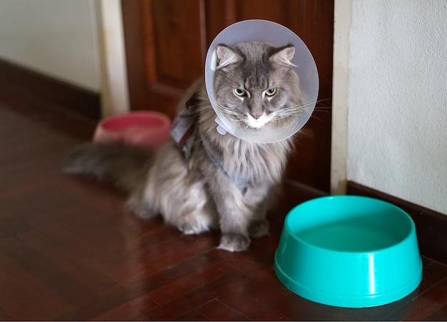 O retrato do jovem gato doméstico mainecoon usando gola de cone para prevenção de lamber