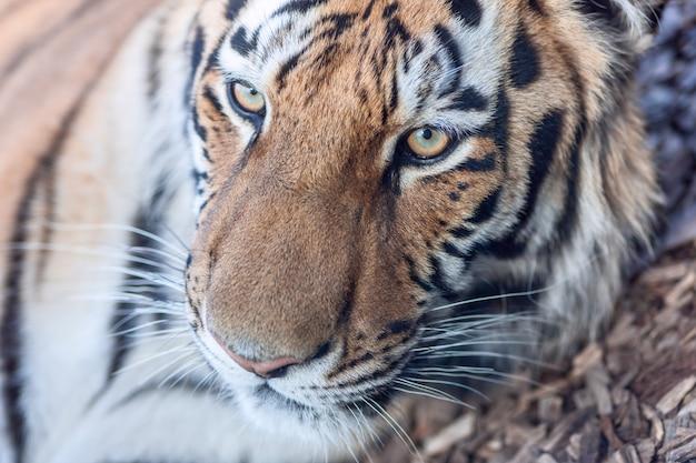 O retrato em close da cabeça de um tigre
