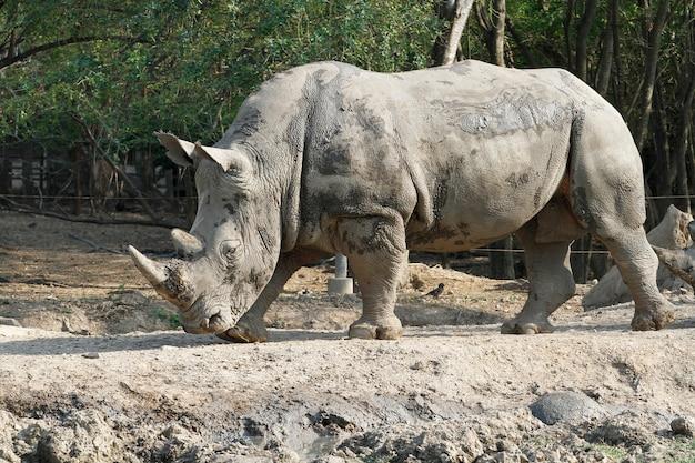 O rinoceronte branco é mamífero e vida selvagem no jardim