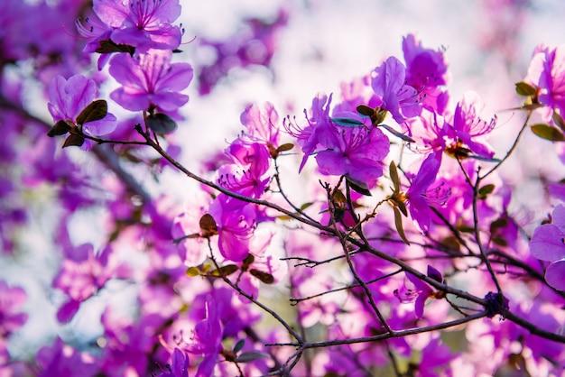 O rododendro lilás-rosa bonito floresce na luz solar brilhante. arbusto espalhado com delicadas flores roxas, close-up
