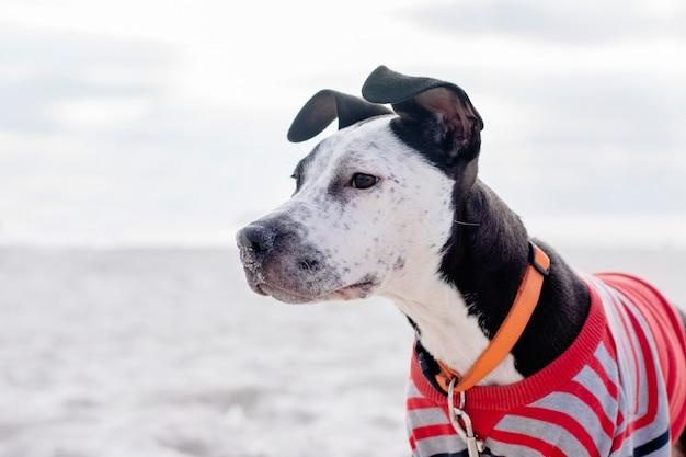 O rosto de um cachorro engraçado staffordshire terrier no fundo da praia.