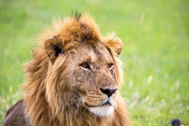 O rosto de um grande leão em close