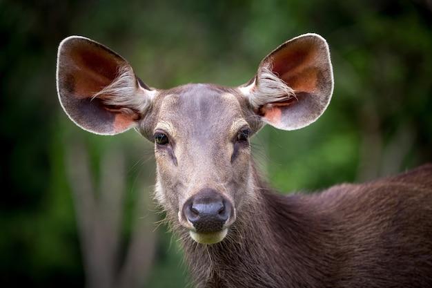 O Rosto De Um Lindo Cervo Feminino Asiático Na Natureza