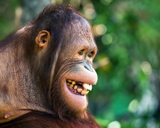 O rosto do orangotango está sorrindo alegremente.
