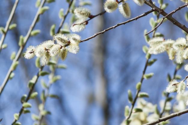 O salgueiro floresce os ramos do bichano, fundo adiantado macio da mola.
