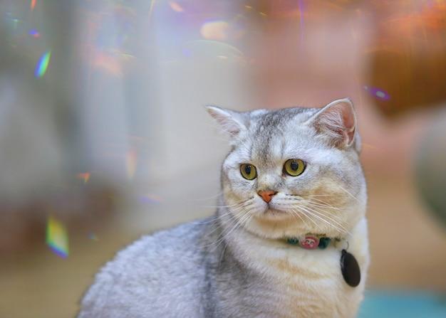 O shorthair americano surpreendeu os olhos grandes da cara engraçada do gato ou do gatinho que apreciam-se.