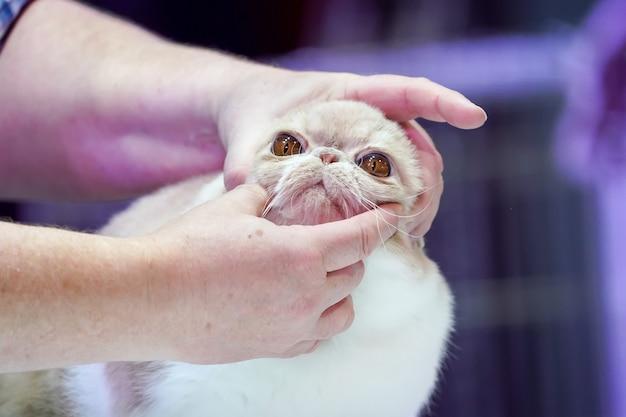 O show de competição do gato com o árbitro está examinando o olho e o rosto do gato no processo.