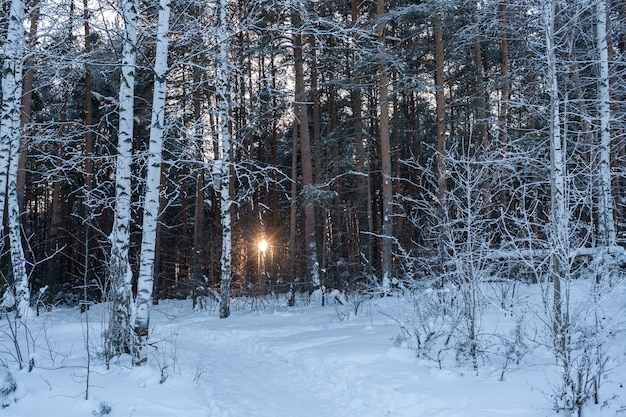 O sol da tarde brilha através de árvores na floresta de inverno.