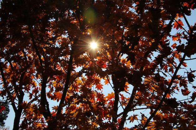 O sol de outono brilhando calorosamente através dos belos galhos de uma árvore de bordo