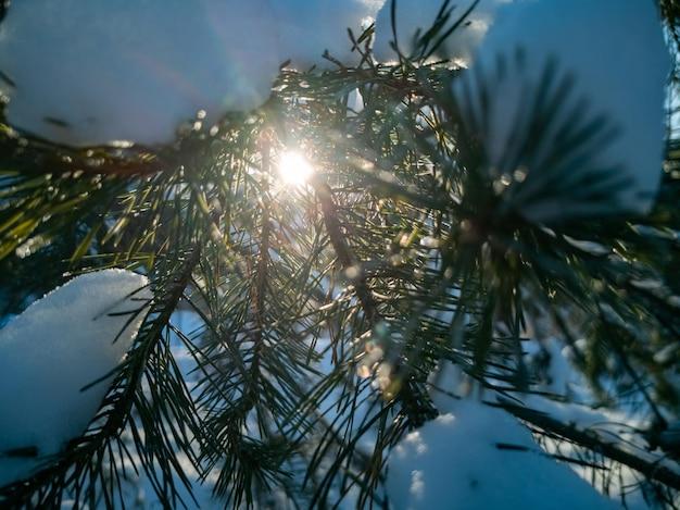 O sol forte brilha através das agulhas verdes dos galhos dos pinheiros cobertos de neve após uma nevasca em um