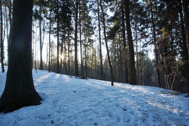 O sol parecia sair das árvores em uma floresta nevada em março.
