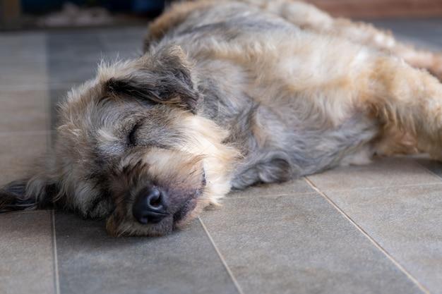 O sono do animal de estimação do cão preguiçoso estabelece canino senta o conceito.