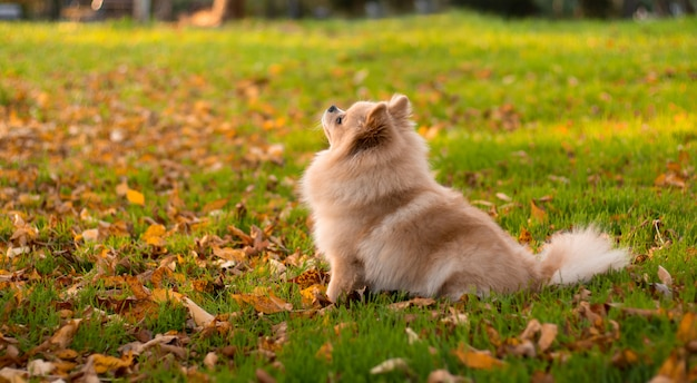 O spitz alemão bonito de pomeranian senta-se na grama verde no parque do outono.