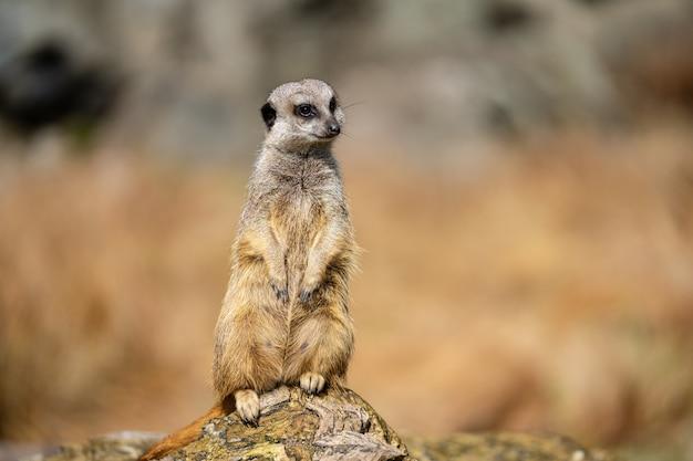 O suricata, suricata suricatta ou suricate é um pequeno carnívoro da família dos mangustos. é o único membro do gênero suricata