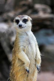 O suricata suricatta ou meerkat se levantam