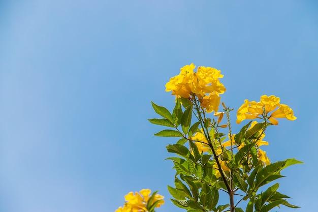 O tekoma desabrochando ergue flores amarelas contra o céu. natureza.