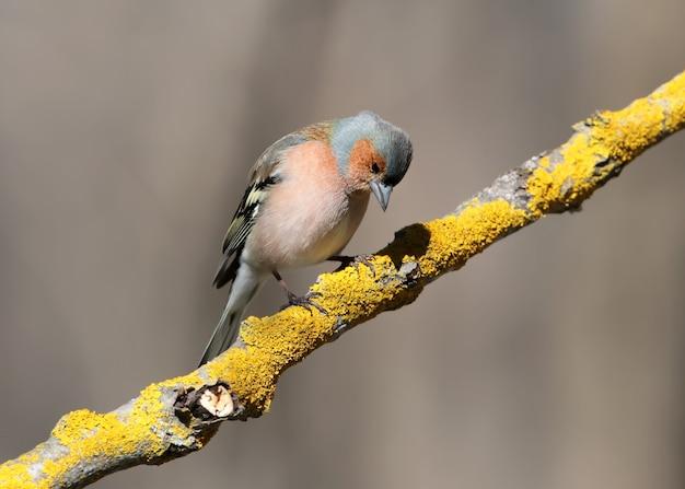 O tentilhão macho senta-se em um alimentador da floresta e olha para a comida