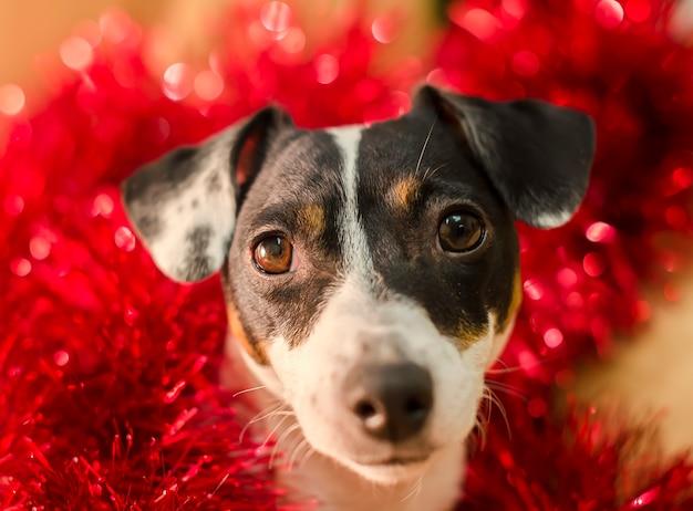 O terrier bonito de russell do jaque no ouropel vermelho olha surpreendido. ano novo. natal