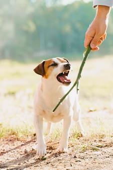 O terrier jack russell late. cachorro brinca com uma vara de madeira. pessoas e animais de estimação.