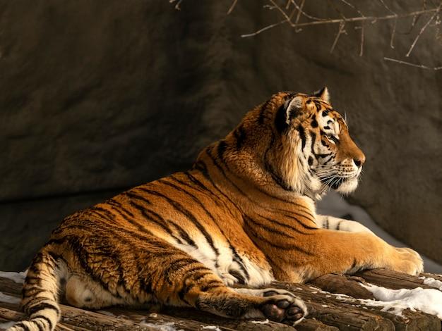 O tigre amur está descansando após uma caçada