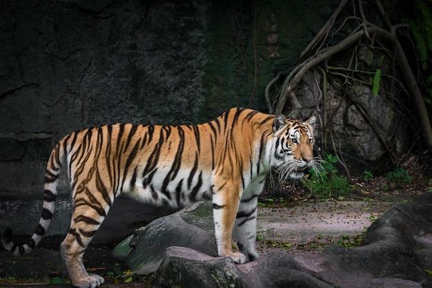 O tigre branco está procurando comida na floresta.