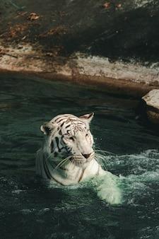 O tigre branco no zoológico está esperando a equipe alimentar.
