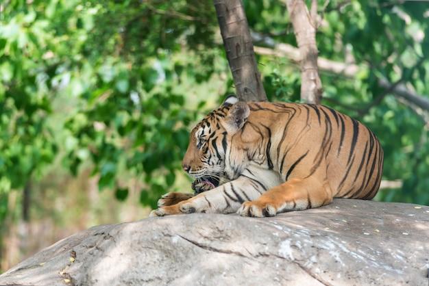 O tigre de bengal na floresta mostra a cabeça e a perna. tigre deitado em pedra.