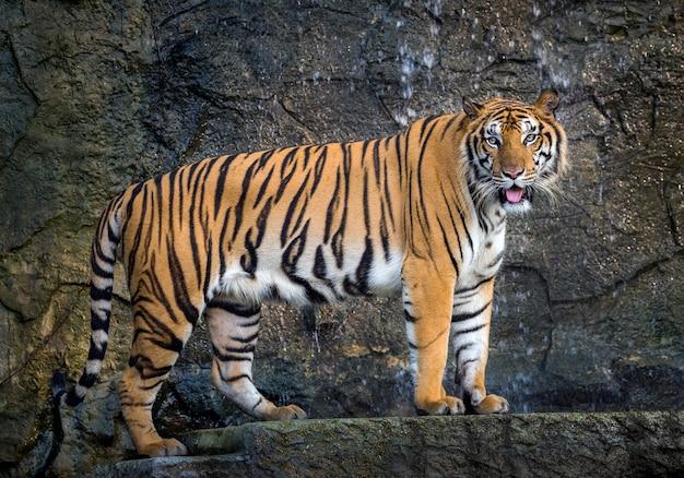 O tigre de sumatra está de pé graciosamente na atmosfera natural do jardim zoológico.