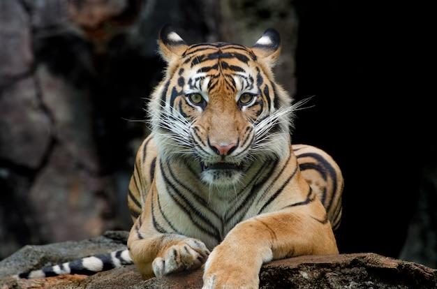 O tigre de sumatra sentado na rocha