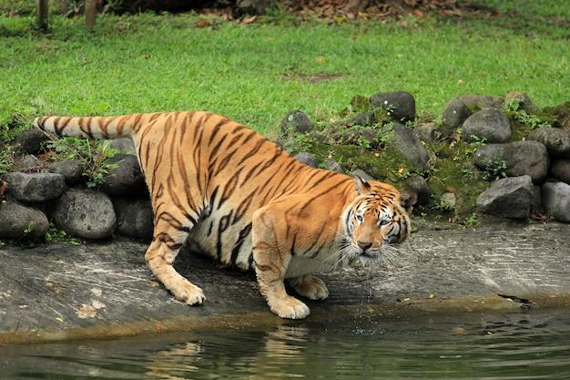 O tigre está assistindo a presa à beira do lago
