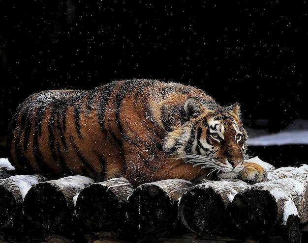 O tigre está deitado nas toras