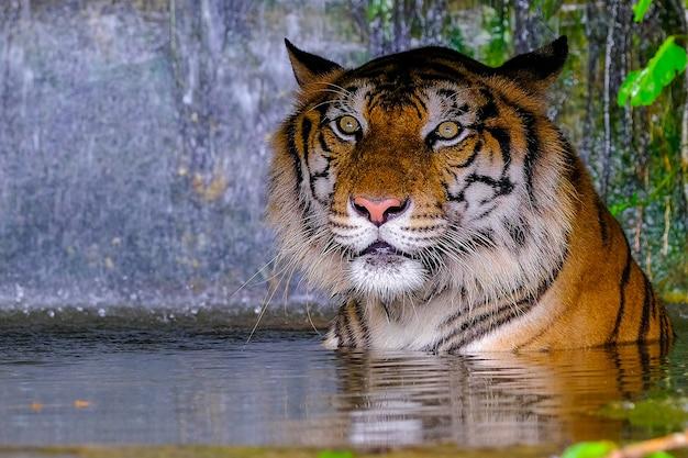 O tigre está por trás dos galhos verdes.