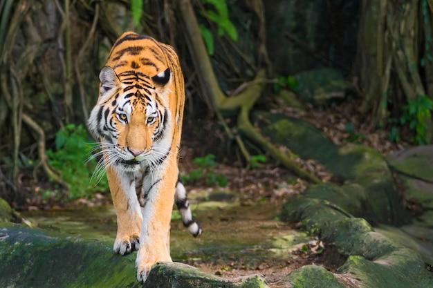 O tigre está se concentrando em algo sério.