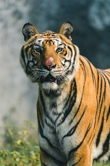 O tigre no zoológico está esperando por comida da equipe.