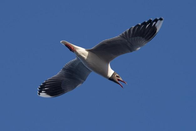 O tiro do close up de uma gaivota de riso com as asas espalhou o voo para a frente