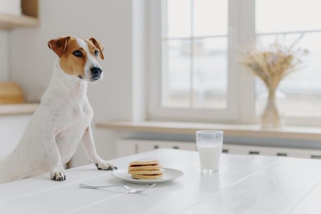O tiro interno do cão da pedigree levanta na mesa branca, quer comer a panqueca e beber o copo de leite, levanta sobre o interior da cozinha. animais, atmosfera doméstica