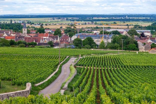 O tiro panorâmico do close up enfileira a paisagem cênico do vinhedo do verão, plantação, ramos bonitos da uva para vinho, sol, terra da pedra calcária. colheita de uvas de outono, agricultura de natureza