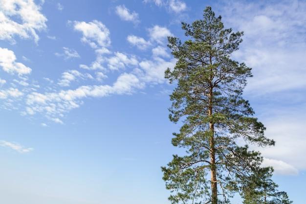 O topo de um pinheiro contra um céu azul com nuvens brancas em um dia ensolarado