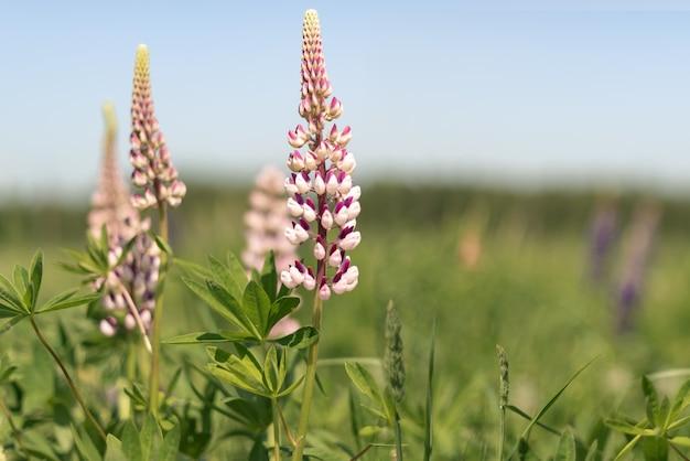 O tremoço-de-rosa floresce no campo no verão. vida rural