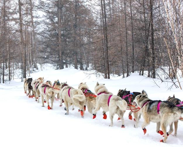 O trenó puxado por cães correndo em uma paisagem de inverno