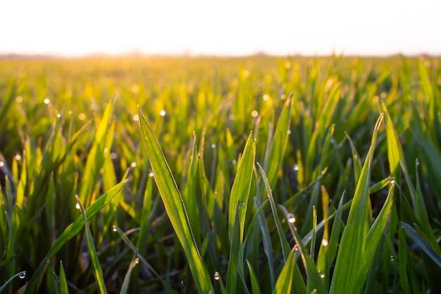 O trigo jovem verde sai de manhã cedo com sol forte e gotas de orvalho