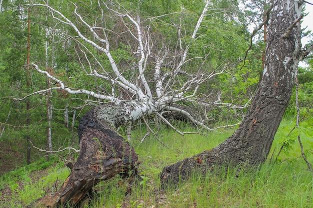O tronco de uma grande bétula em uma floresta, caído por um furacão