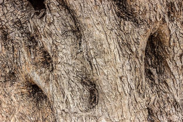 O tronco de uma velha oliveira