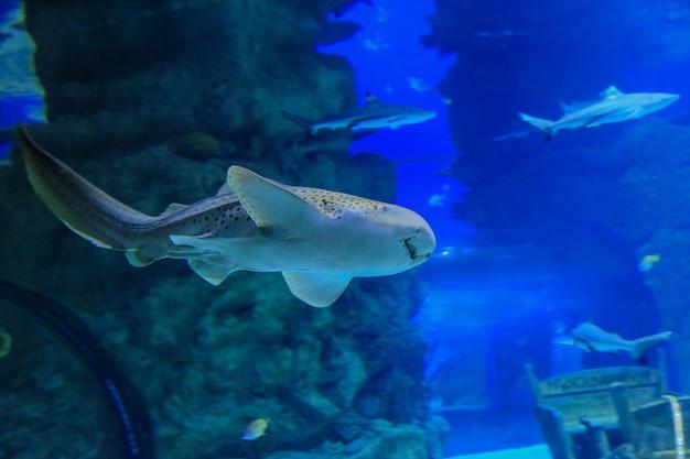 O tubarão-zebra nada contra corais e outros peixes na água azul. foto de alta qualidade